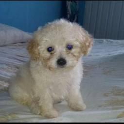 Poodle(quero comprar,não vender)