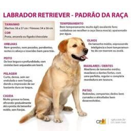 Filhotes de cão labrador disponíveis