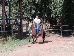 Égua Campolina Marchador 3 anos -Marcha Picada- A Venda