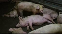 Vendo porcos para o ano novo