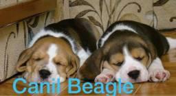 Beagle Filhote Mini com Pedigre e Garantia de Saúde