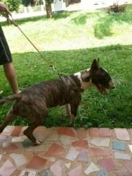 Bull Terrier para Cobertura