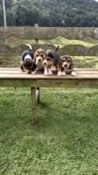 Filhotes de Beagle Inglês#Reserva#-Boa Vista/RR