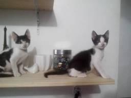 Gatinhos frajola 2 meses gato macho filhote