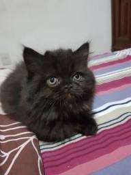 Gato Persa Preto Machinho Top