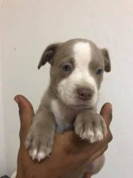 Filhote de pitbull terrier puro ( macho )
