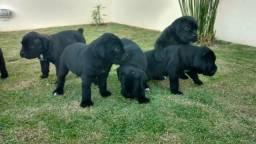 Filhote de cane corso italiano pedigree cbkc