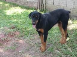 Rottweiler doação