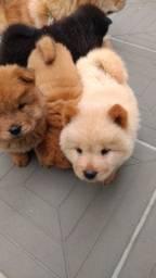 Filhotes de Chow- Chow