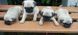 Disponivel Pugs fêmeas