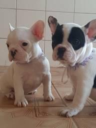 Femeas bulldog francês lindas