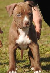Incríveis filhotes de Pitbull