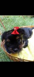 Título do anúncio: Micro yorkshire terrier
