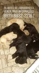 Filhotes de labradores