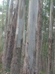 Eucalipto lenha