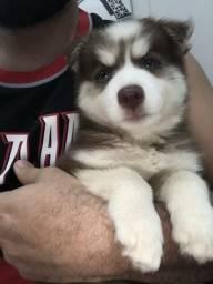 Filhote de husky siberiano disponível para venda