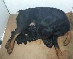 FILHOTE de Rottweiler .