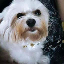 Cachorros lindos raça maltês!!!
