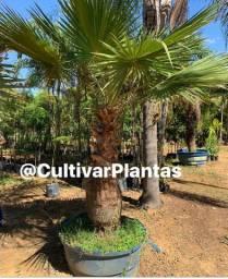 Título do anúncio: Palmeiras árvores frutíferas e ornamentais