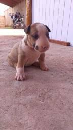 Filhote fêmea de Bull terrier