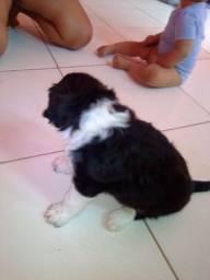 Cachorro Raça labrador