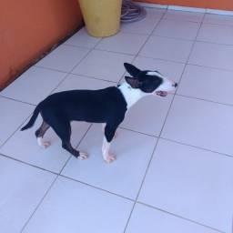 Bull terrier inglês macho 6 meses