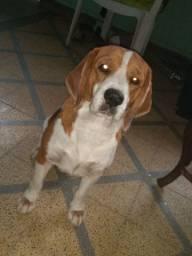 Beagle BOLOTA disponível para cruzamento.