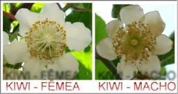 Título do anúncio: mudas de kiwi macho e femea enxertados