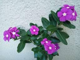 Título do anúncio: Muda de flor vinca