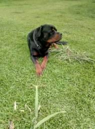 Rottweiler com pedigree CBKC