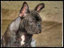 Bulldog Francês venda