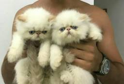 Gatos persas- filhotes fêmeas Himalaias