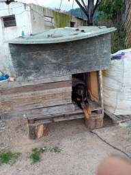 Procura-se uma fêmea de Rottweiler