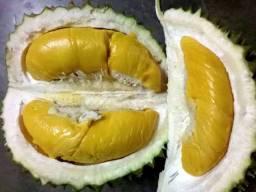1 Muda De Durian Ou Durião A Mais Saborosa Produz Em Vaso