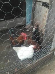 Tenho galo e galinha para trocar