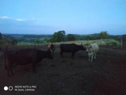 Vendo lote de 10 vacas gersen !