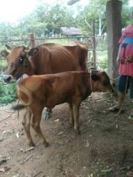 Vaca leiteira com. bezerro