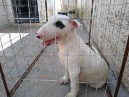 Bull terrier