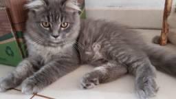 Vendo gatos de raça persa
