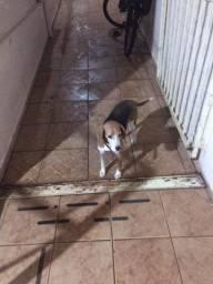 procuro cachorro beagle pra cobertura