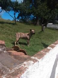 Cachorra Cimarron