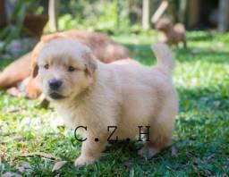 Título do anúncio: Golden retriever filhotes disponíveis para entrega, cães com pedigree