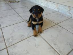 Vende-se filhote de Hottweiler