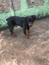 Vendo filhote  de Rottweiler 6 meses