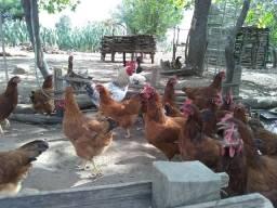 Ovos galados Embrapa 051