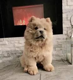 Filhote de Chow Chow Clarinha 08 de setembro de 2019 nascida!