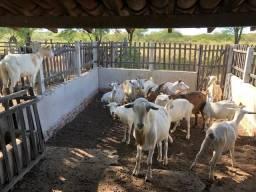 Vendo cabras, cabritos e bode Saanen