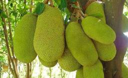 Vendo jaca manga e abacate