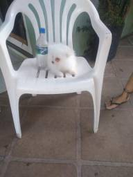 Lulu branca fêmea