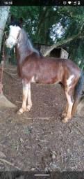 Cavalo super manso